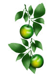Κλάδος με τα πράσινα μήλα Στοκ Εικόνες