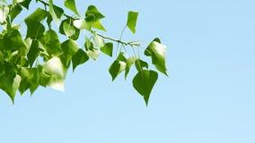 Κλάδος με τα πράσινα φύλλα απόθεμα βίντεο