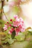 Κλάδος με τα ρόδινα λουλούδια του δέντρου της Apple Στοκ φωτογραφίες με δικαίωμα ελεύθερης χρήσης