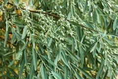 Κλάδος με τους unripe καρπούς του angustifolia Elaeagnus Στοκ εικόνες με δικαίωμα ελεύθερης χρήσης