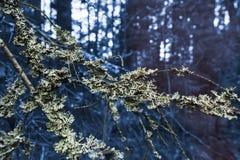Κλάδος με το βρύο σε ένα μυστικό και σκούρο μπλε δάσος Στοκ Φωτογραφίες