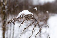 Κλάδος με το χιόνι Στοκ Εικόνα