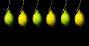 Κλάδος με το ωριμάζοντας λεμόνι Στοκ Εικόνα