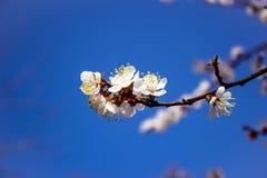 Κλάδος με το όμορφο λουλούδι Άνθος της Apple με το υπόβαθρο Στοκ εικόνες με δικαίωμα ελεύθερης χρήσης