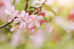 Κλάδος με χλωμό - ρόδινα λουλούδια του δέντρου της Apple Στοκ Εικόνες