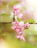 Κλάδος με χλωμό - ρόδινα λουλούδια του δέντρου της Apple Στοκ φωτογραφία με δικαίωμα ελεύθερης χρήσης