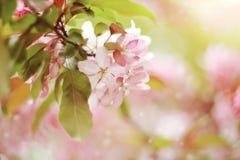 Κλάδος με χλωμό - ρόδινα λουλούδια του δέντρου της Apple Στοκ φωτογραφίες με δικαίωμα ελεύθερης χρήσης