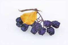 Κλάδος ξηρού chokeberry στοκ φωτογραφία με δικαίωμα ελεύθερης χρήσης