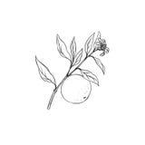 Κλάδος οπωρωφόρων δέντρων με τα λουλούδια, τα φύλλα και τα πορτοκάλια Στοκ φωτογραφίες με δικαίωμα ελεύθερης χρήσης
