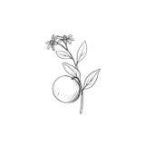 Κλάδος οπωρωφόρων δέντρων με τα λουλούδια, τα φύλλα και τα πορτοκάλια Στοκ Εικόνες