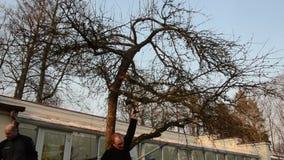 Κλάδος οπωρωφόρων δέντρων περιποίησης πριονιών κηπουρών με το ειδικό εργαλείο την άνοιξη απόθεμα βίντεο