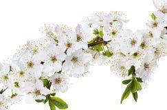 Κλάδος λουλουδιών της Apple που απομονώνεται σε ένα λευκό Στοκ Φωτογραφίες