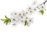Κλάδος λουλουδιών της Apple που απομονώνεται σε ένα λευκό Στοκ Φωτογραφία