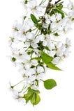 Κλάδος λουλουδιών της Apple που απομονώνεται σε ένα λευκό Στοκ εικόνες με δικαίωμα ελεύθερης χρήσης