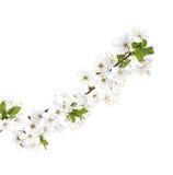 Κλάδος λουλουδιών της Apple που απομονώνεται σε ένα λευκό Στοκ φωτογραφία με δικαίωμα ελεύθερης χρήσης