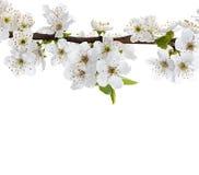 Κλάδος λουλουδιών της Apple που απομονώνεται σε ένα λευκό Στοκ φωτογραφίες με δικαίωμα ελεύθερης χρήσης