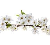 Κλάδος λουλουδιών της Apple που απομονώνεται σε ένα λευκό Στοκ Εικόνα