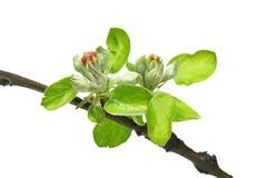 Κλάδος λουλουδιών της Apple που απομονώνεται στο λευκό Στοκ Εικόνες