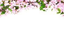 Κλάδος λουλουδιών της Apple σε ένα λευκό Στοκ φωτογραφία με δικαίωμα ελεύθερης χρήσης