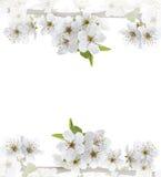 Κλάδος λουλουδιών της Apple σε ένα λευκό Στοκ Φωτογραφία