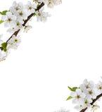 Κλάδος λουλουδιών της Apple σε ένα λευκό Στοκ εικόνα με δικαίωμα ελεύθερης χρήσης