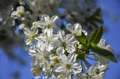 Κλάδος λουλουδιών της Apple Στοκ Φωτογραφία