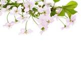 Κλάδος λουλουδιών της Apple Στοκ φωτογραφία με δικαίωμα ελεύθερης χρήσης