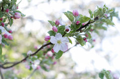 Κλάδος λουλουδιών της Apple Στοκ Εικόνες