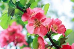 Κλάδος λουλουδιών Chamomeles Στοκ Φωτογραφίες