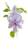 Κλάδος λουλουδιών Clematis Στοκ Εικόνες