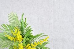 Κλάδος λουλουδιών Mimose Στοκ φωτογραφία με δικαίωμα ελεύθερης χρήσης