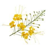 Κλάδος λουλουδιών Peacock Στοκ εικόνα με δικαίωμα ελεύθερης χρήσης