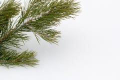 Κλάδος πεύκων ενάντια στο άσπρο χιόνι Στοκ φωτογραφία με δικαίωμα ελεύθερης χρήσης