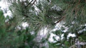 Κλάδος πεύκων με τις πτώσεις χιονιού τήξης φιλμ μικρού μήκους