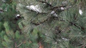 Κλάδος πεύκων με τις πτώσεις χιονιού τήξης απόθεμα βίντεο