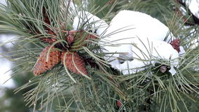 Κλάδος πεύκων με τους κώνους και το λειώνοντας χιόνι απόθεμα βίντεο