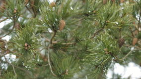 Κλάδος πεύκων με τους κώνους και το λειώνοντας χιόνι φιλμ μικρού μήκους
