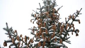 Κλάδος πεύκων με τους κώνους το χειμώνα φιλμ μικρού μήκους
