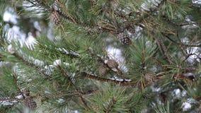 Κλάδος πεύκων με τους κώνους το χειμώνα απόθεμα βίντεο