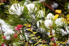 Κλάδος πεύκων που καλύπτεται με το κάλυμμα χιονιού Στοκ φωτογραφίες με δικαίωμα ελεύθερης χρήσης