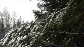 Κλάδος πεύκων το χειμώνα απόθεμα βίντεο