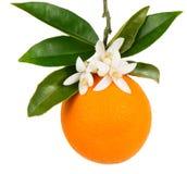 Κλάδος πορτοκαλής-δέντρων με ένα πορτοκάλι Στοκ Φωτογραφία