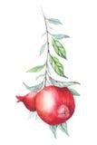 Κλάδος ροδιών Watercolor (γρανάτης) Στοκ εικόνα με δικαίωμα ελεύθερης χρήσης