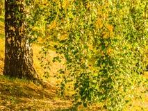 Κλάδος σημύδων με τα πράσινα και κίτρινα φύλλα Στοκ φωτογραφία με δικαίωμα ελεύθερης χρήσης