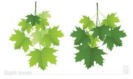 Κλάδος σφενδάμνου με τα πράσινα φύλλα σε ένα λευκό Στοκ Εικόνες