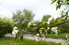 Κλάδος της άνοιξης ανθών της Apple το καλοκαίρι πάρκων Στοκ Εικόνες