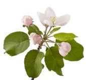 Κλάδος της Apple με τα άνθη Στοκ Εικόνες