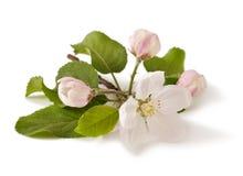 Κλάδος της Apple με τα άνθη Στοκ φωτογραφία με δικαίωμα ελεύθερης χρήσης