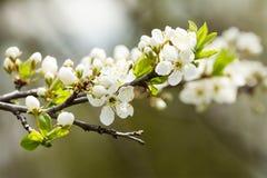 Κλάδος της Apple με τα ανθίζοντας άσπρα λουλούδια και τα πράσινα φύλλα Μακρο οπωρωφόρο δέντρο άποψης χρόνος άνοιξη στον κήπο μαλα Στοκ Φωτογραφία