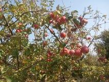 Κλάδος της Apple με τα μήλα Στοκ Φωτογραφίες